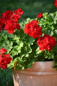 Geraniums in a terracotta pot
